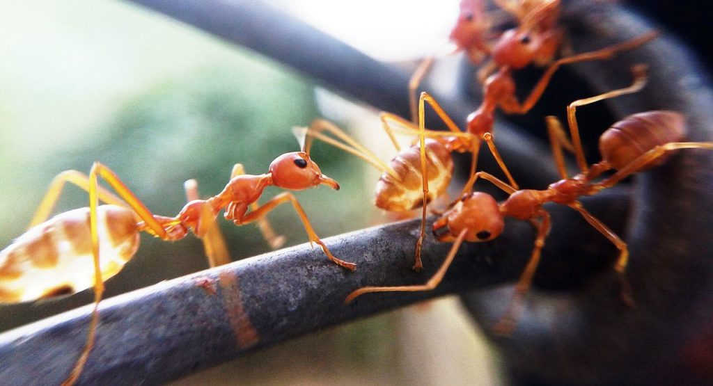 Fire Ants Are Fascinating: Learn How They Can Survive The Unthinkable